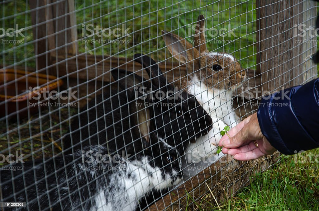 Rabbits in a hutch stock photo