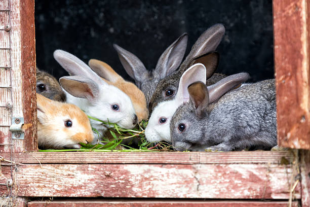 Rabbits in a hutch stock photo