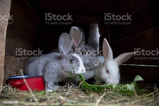 Rabbits on farm picture id1004804490?b=1&k=6&m=1004804490&s=612x612&h=hdjjrmcmh14towgfuqh8r6dwvr8shnhmsnrtu3to914=