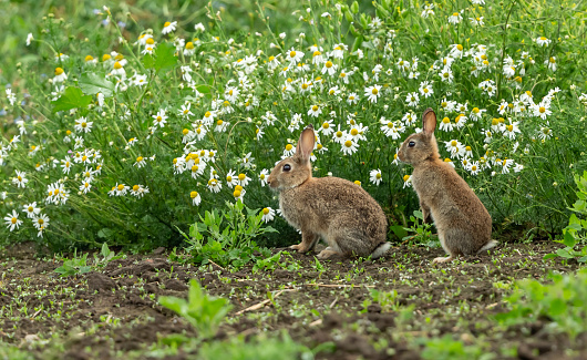 Rabbits. Oryctolagus cuniculus. Two wild, native young rabbits on the edge of farmland with  a background of white Oxeye Daisies and facing left.  Summertime. North Yorkshire, England, UK.  Horizontal.  Space for copy.