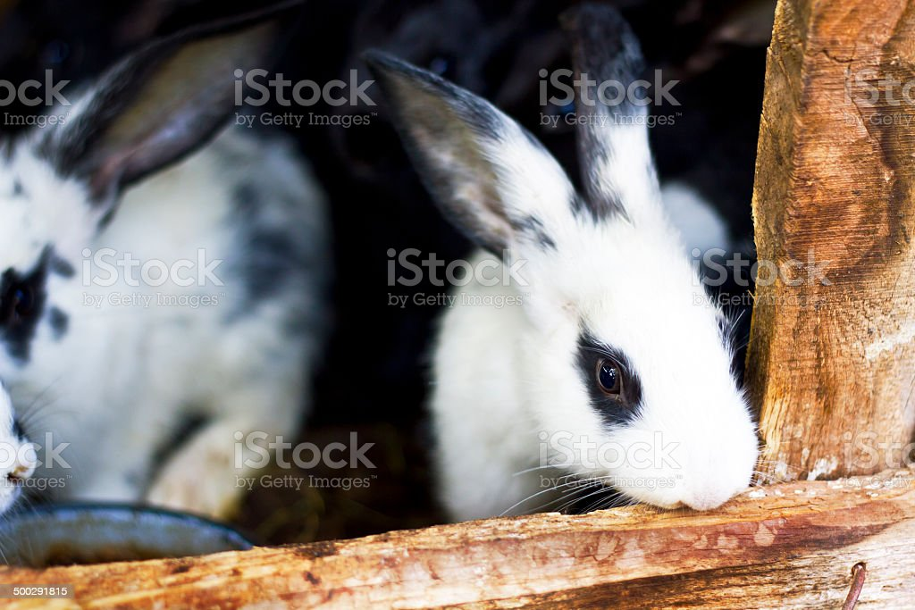 Rabbits royalty-free stock photo