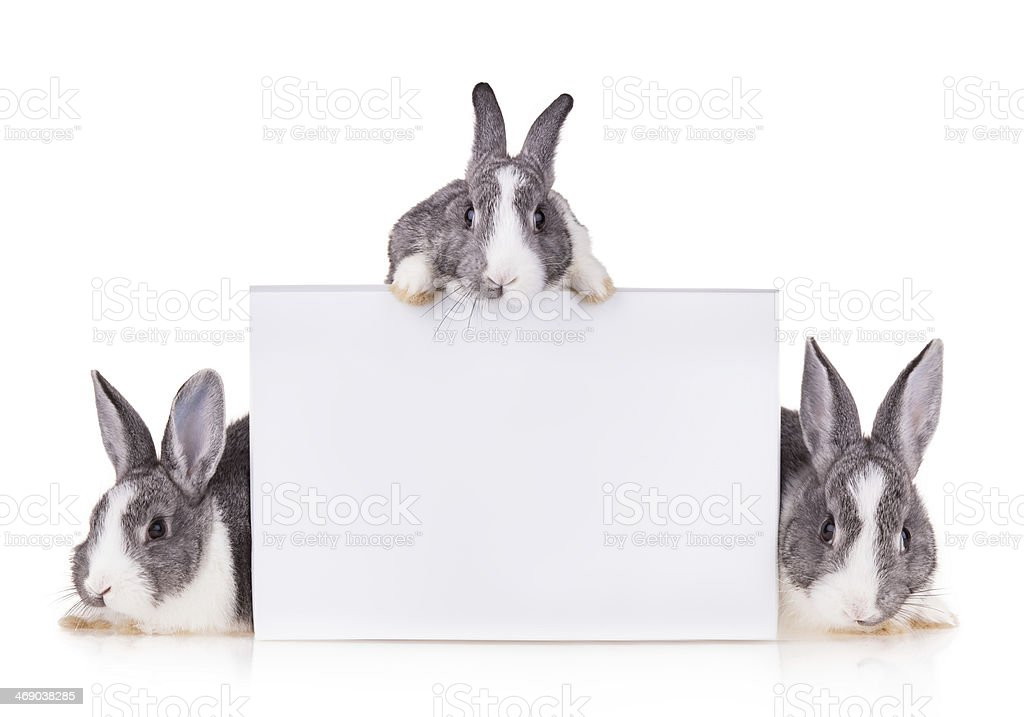 Rabbits with blank sheet on white background stock photo