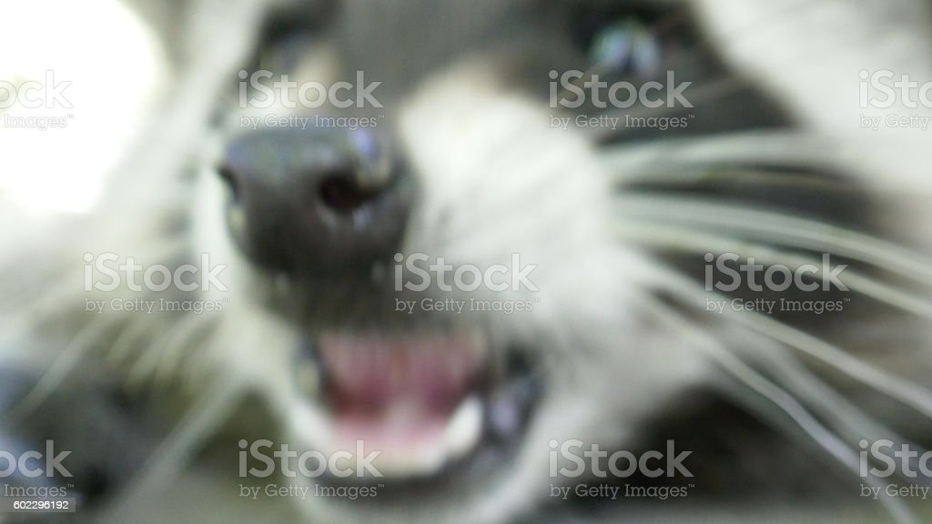 Rabid Racoon bite stock photo