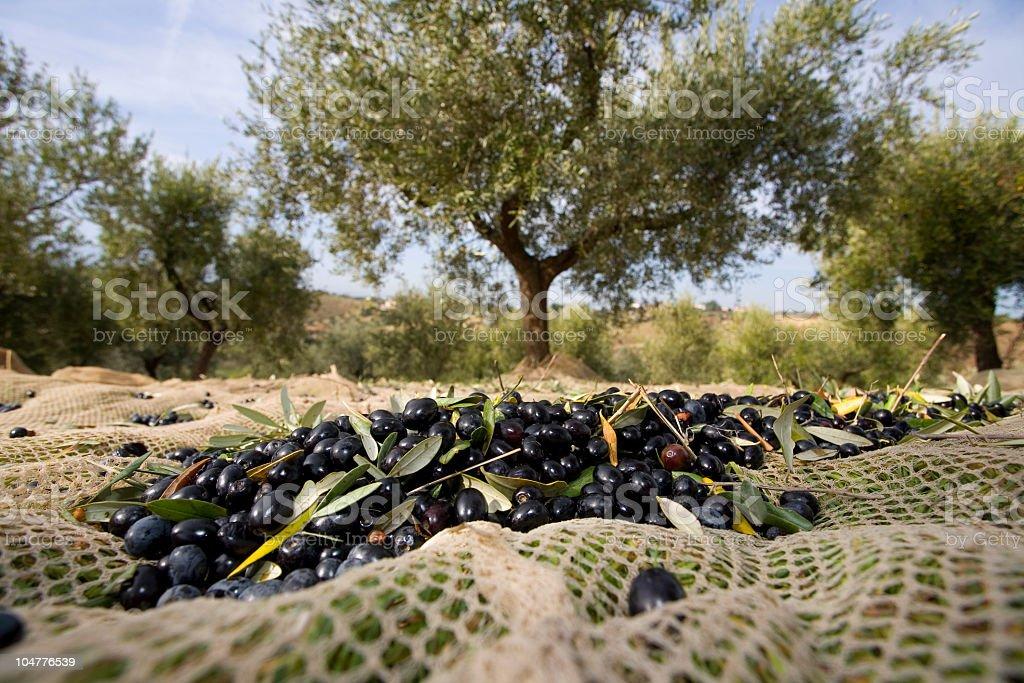 Raccolta delle olive stock photo