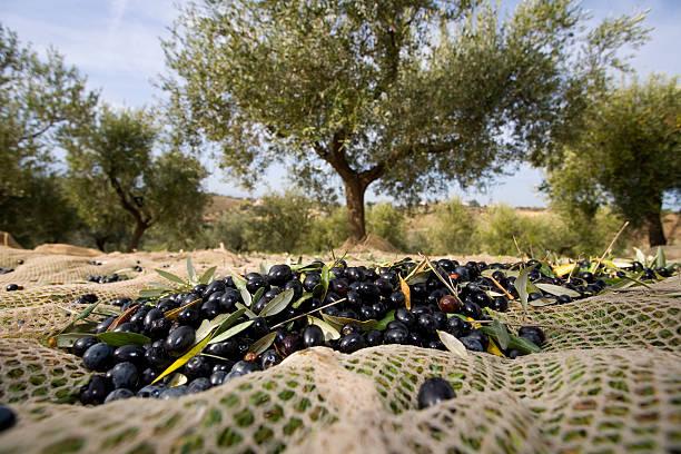 Raccolta Delle olive – Foto