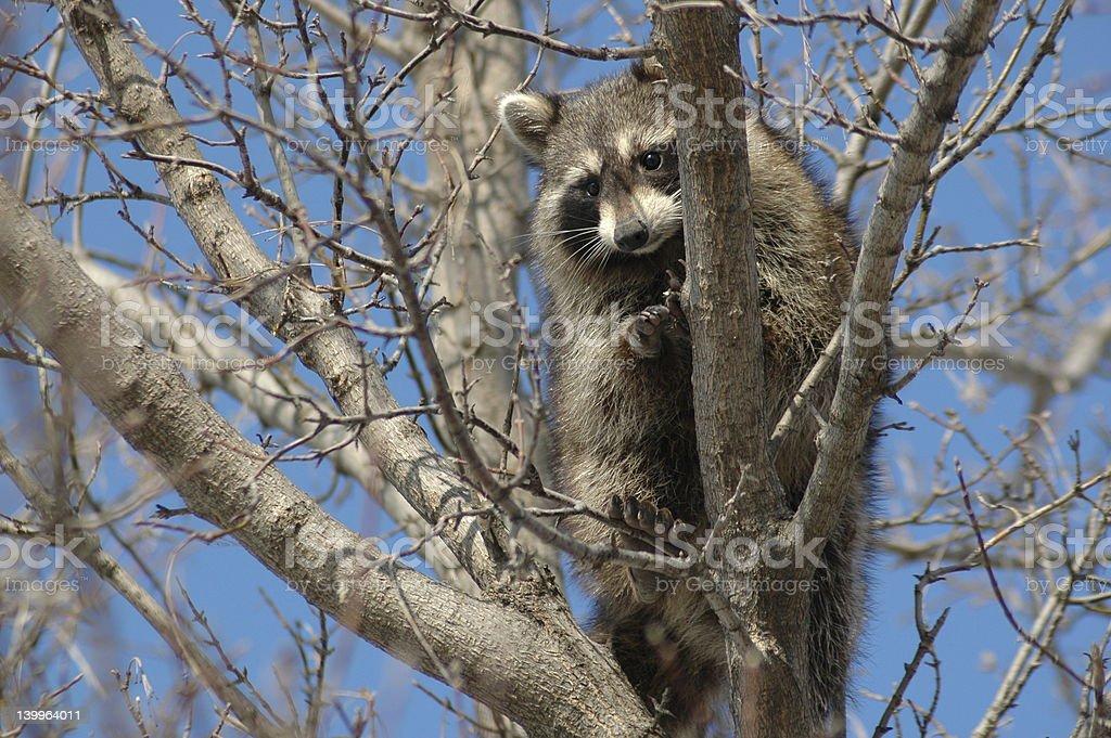 Raccoon 3 stock photo