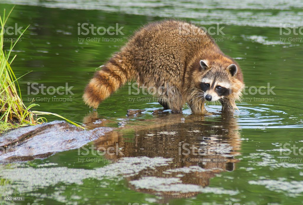 Raccoon and reflection in a small pond. stock photo
