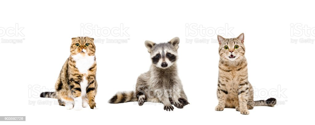 Raccoon and two cats sitting together stock photo