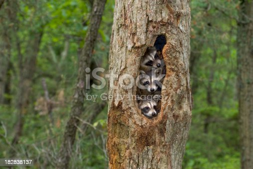 Raccoon babies huddled together in their tree home