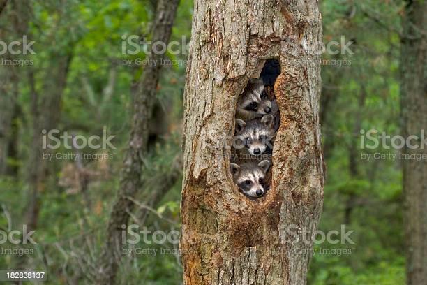 Raccoon babies huddled together in their tree home picture id182838137?b=1&k=6&m=182838137&s=612x612&h=tqu37r1ogqlcspdgfynqprep ieeh0mqvt2ym3xt6ak=