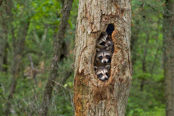 raccoon babies huddled together in their tree home - forest animals stock photos and pictures