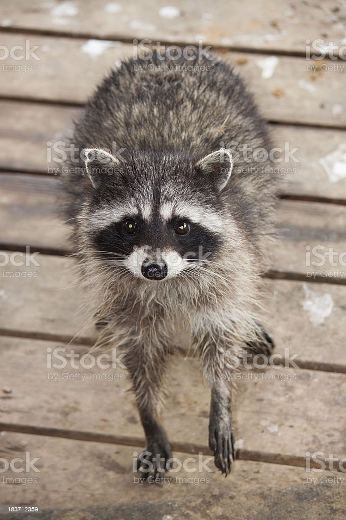 raccoon begger stock photo
