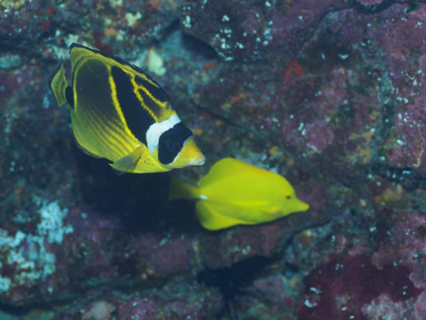 Raccoon butterfly fish and Yellow tang fish stock photo