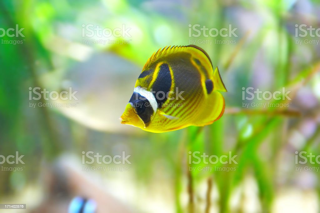Raccoon Butterfly Fish or 'Chaetodon Lunala' royalty-free stock photo