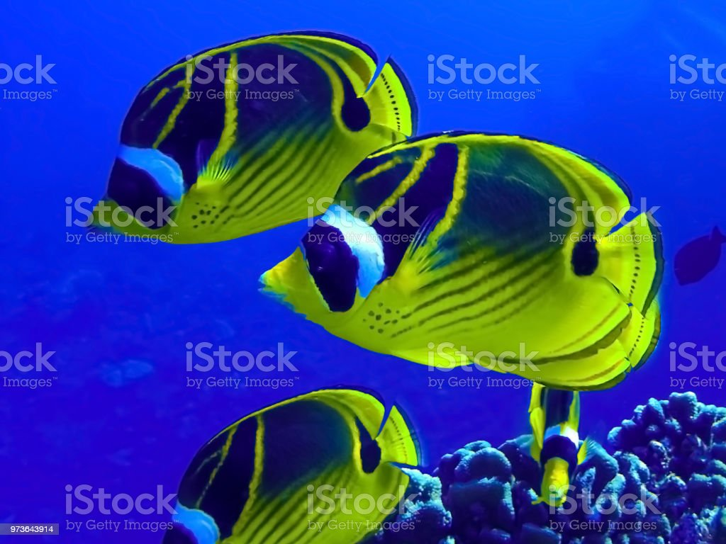 Raccoon Butterflyfish Close Up stock photo