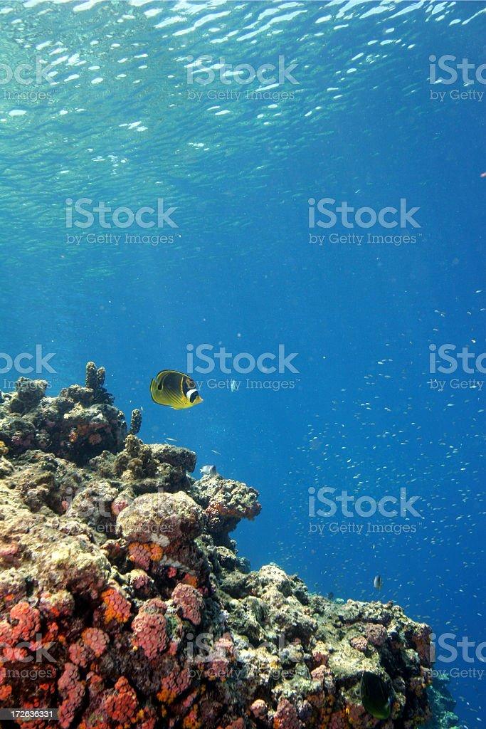 Raccoon Butterflyfish royalty-free stock photo