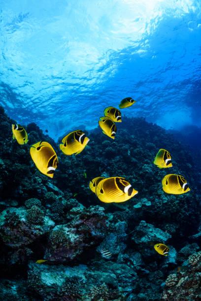 raccoon butterflyfish - tropikalna ryba zdjęcia i obrazy z banku zdjęć