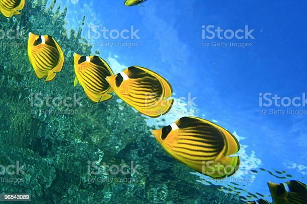 Foto de Guaxinim Butterflyfishes e mais fotos de stock de Amarelo
