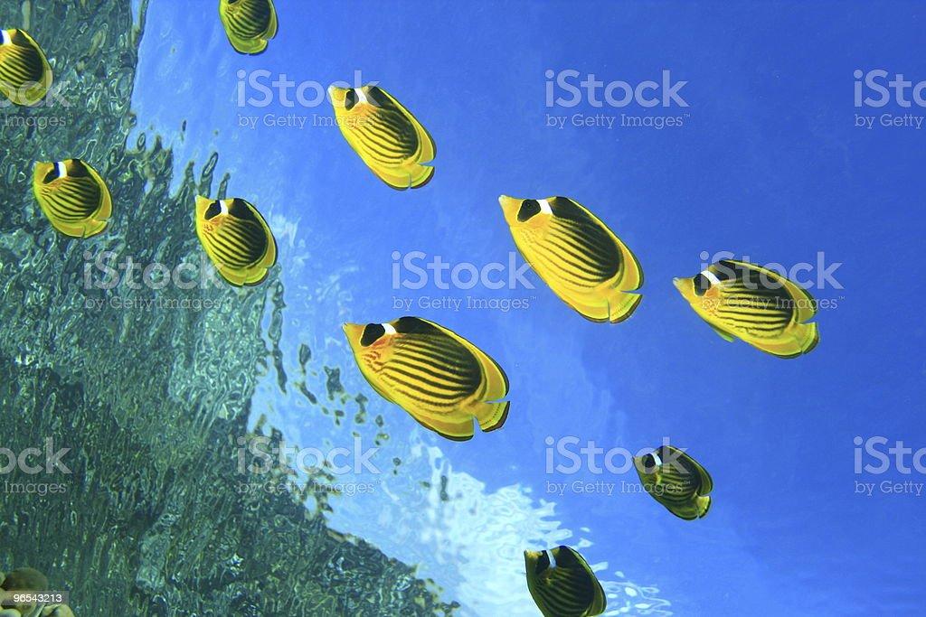 Pracz Butterflyfishes zbiór zdjęć royalty-free
