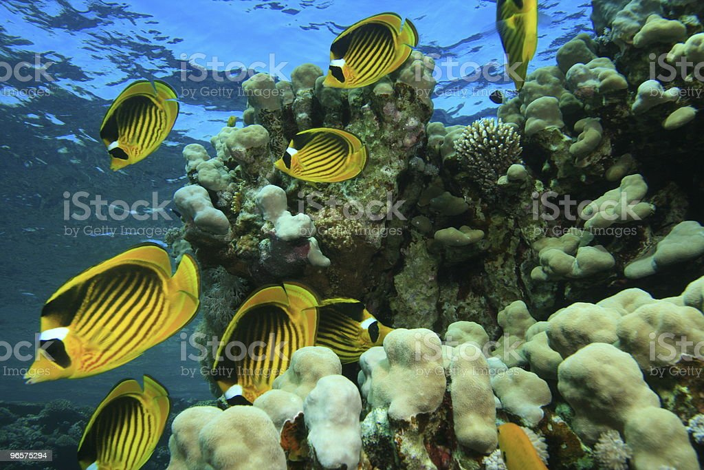 Raccoon Butterflyfishes - Royalty-free Beauty In Nature Stock Photo