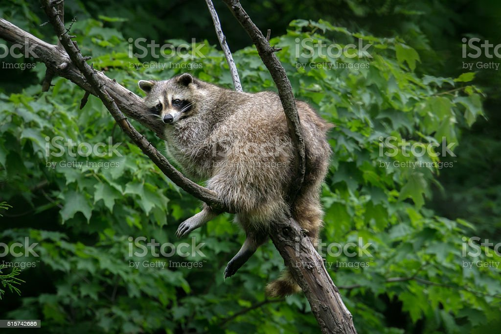 Raccoon Chillaxing in a Tree stock photo