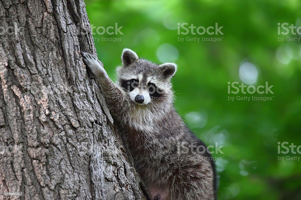 Raccoon climbing a tree looking at camera stock photo