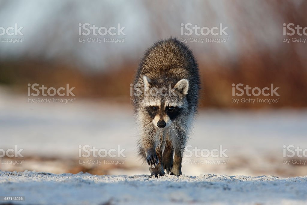 Raccoon crossing a sandy beach - St. Petersburg, Florida stock photo