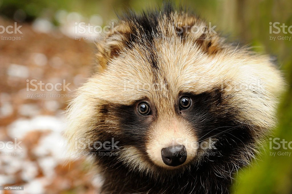 Raccoon Hund, close-up portrait Süßes – Foto