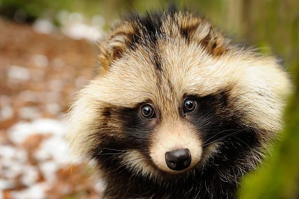 Raccoon dog, cute close-up portrait stock photo