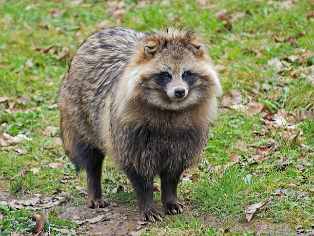 Raccoon Dog in natural ambiance stock photo