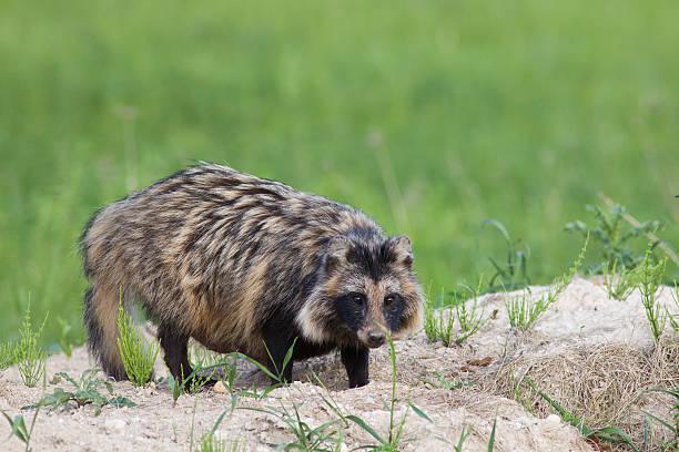 Raccoon Hund neben burrow. – Foto