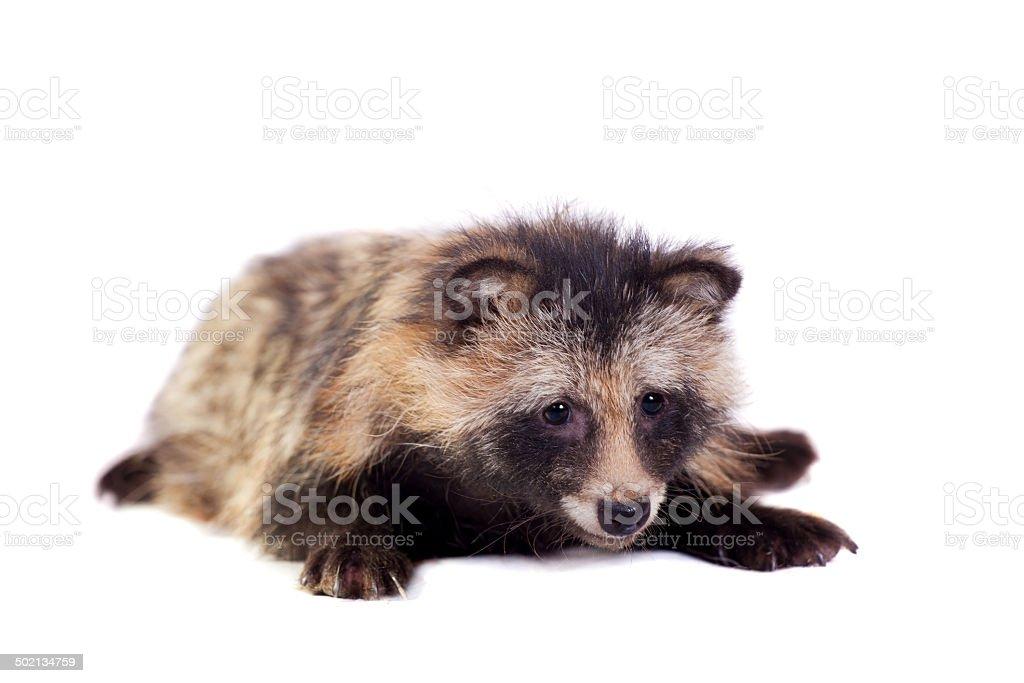 Raccoon Dog on white background stock photo