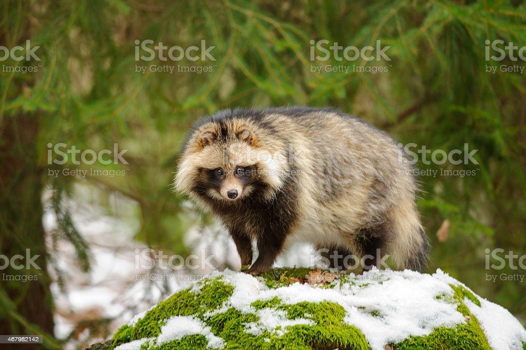 Raccoon Hund – Foto