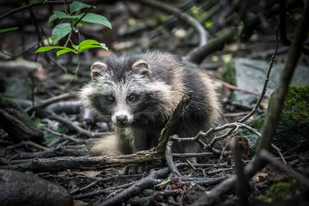 Raccoon dog stock photo