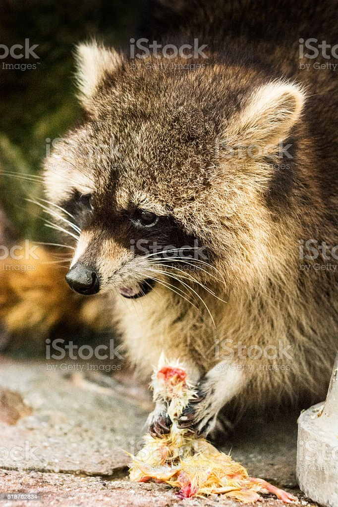 Raccoon eating his prey - caught young bird stock photo
