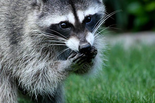 Raccoon eating stock photo