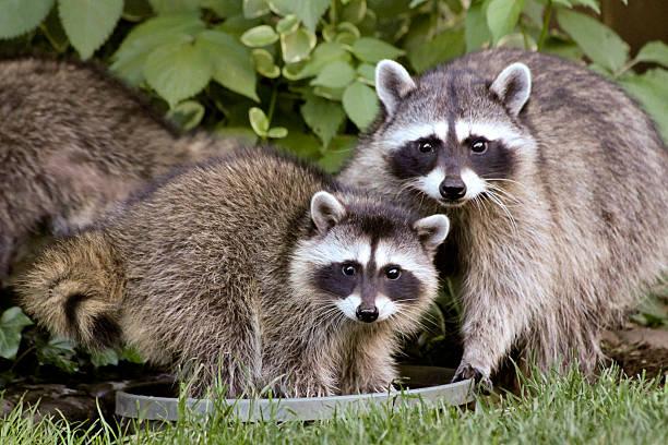Raccoon Family stock photo