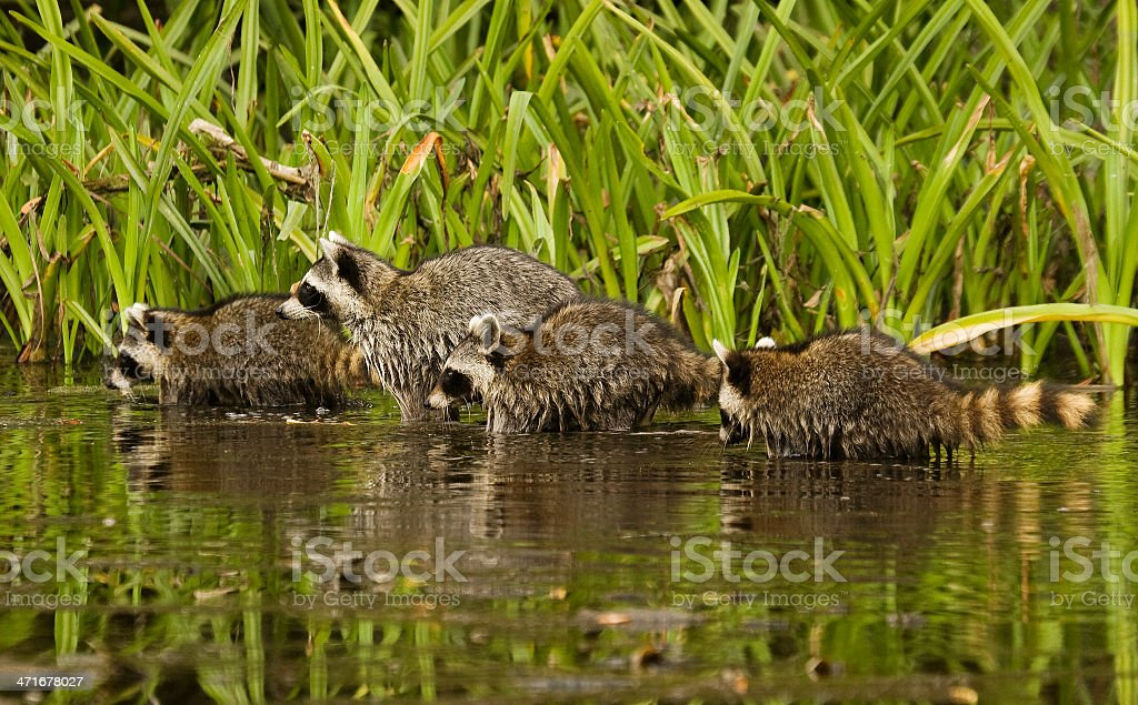 raccoon family stock photo