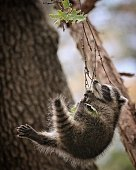 Raccoon hanging on to small branch