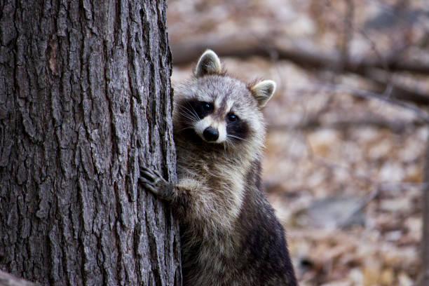 Raccoon hiding behind a tree - Photo