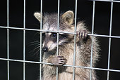 istock raccoon in a cage. raccoon in the zoo. hard life of animals in captivity 876656002