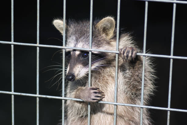 raccoon in a cage. raccoon in the zoo. hard life of animals in captivity - animals in captivity stock pictures, royalty-free photos & images