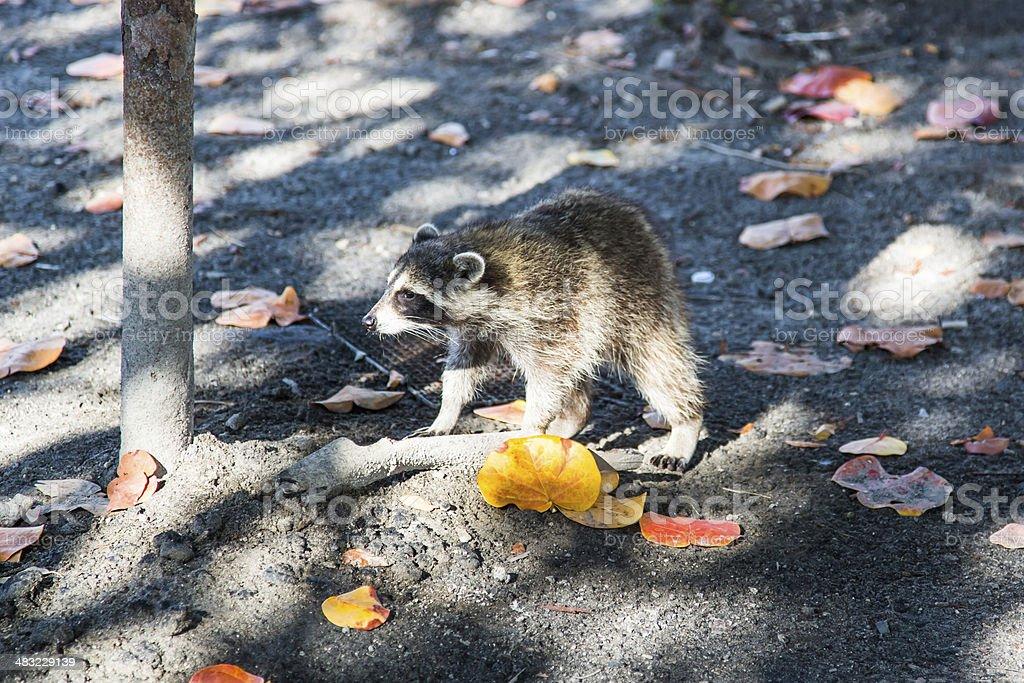 Raccoon in park stock photo