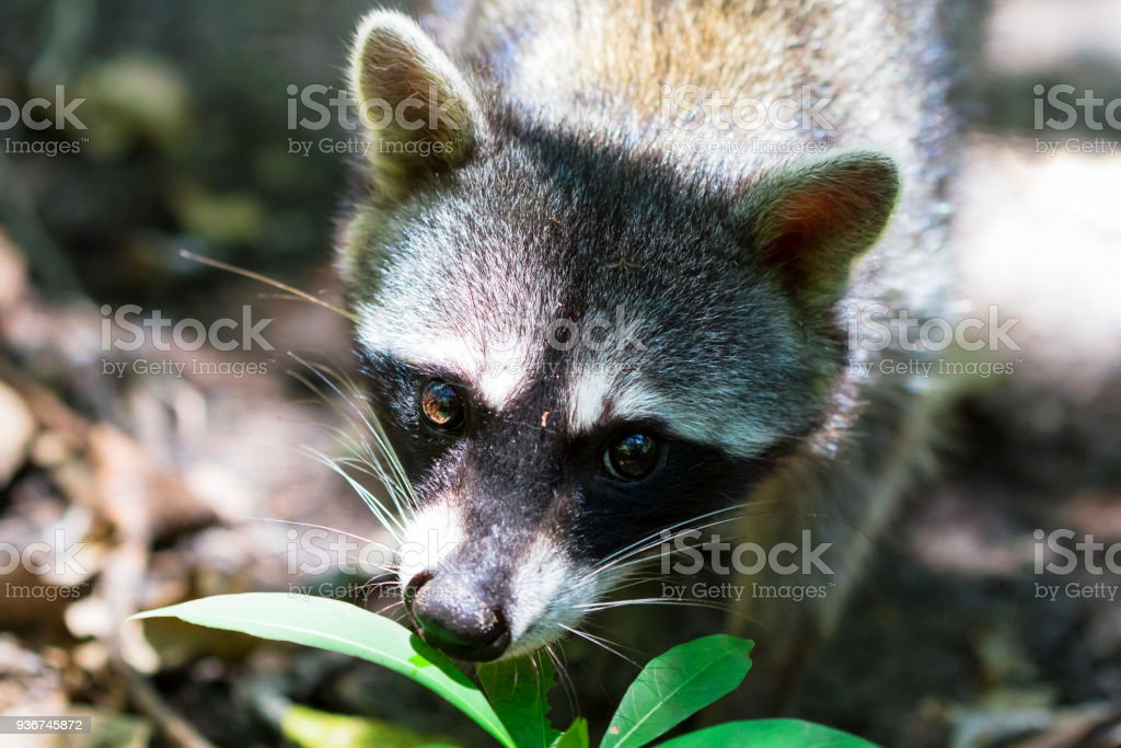 Raccoon in the Costa Rican Jungle stock photo