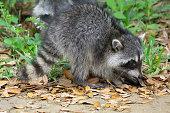 Raccoon in the wild