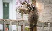 Raccoon (Procyon lotor) on a bird feeder, eastern Ontario.  Masked mammal has a bit of fun while he looks for and finds an easy meal.  Friendly animal lovers helping the woodland critters.   Raccoons are a member of Carnivora order of mammals. Their family is the Procyonidae,