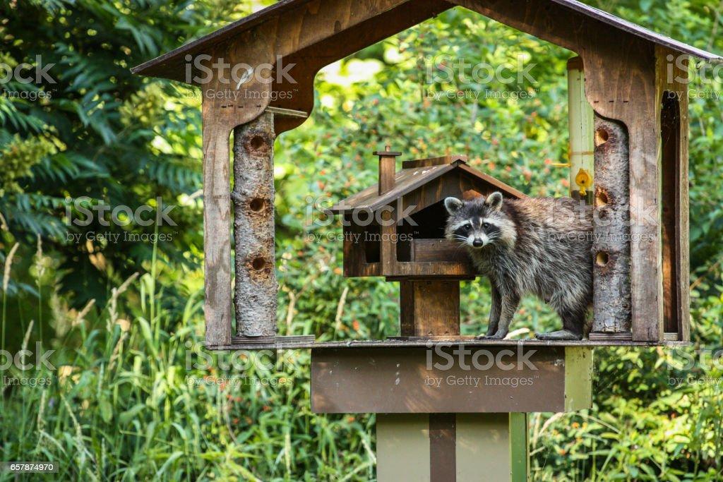 raccoon on a bird feeder stock photo