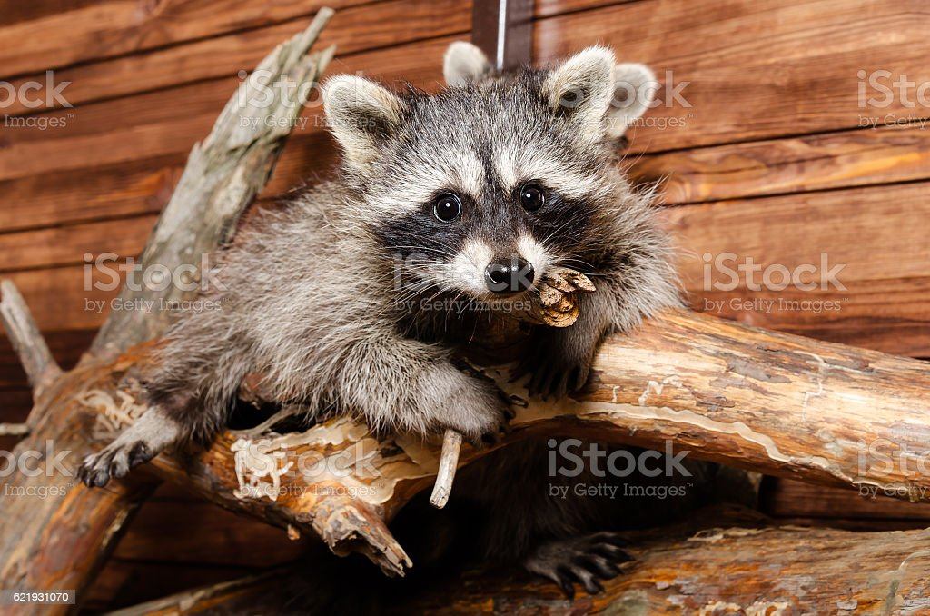 Raccoon on a branch stock photo