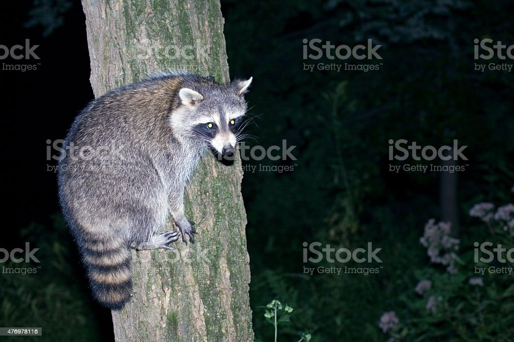 Raccoon on a tree stock photo