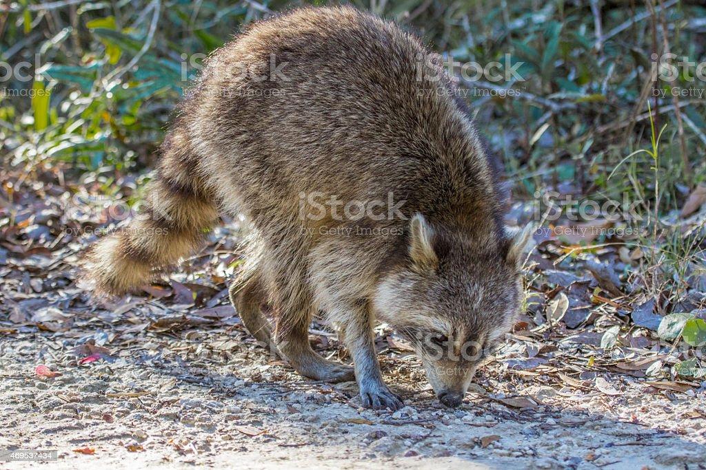 Raccoon on Lower Suwannee Drive in eastern Florida stock photo